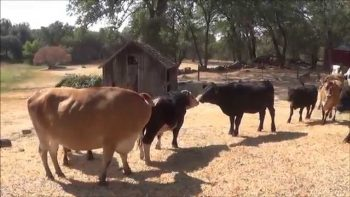 Cows Are Super Happy After Meeting New Friends