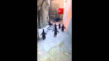 Penguins Try To Escape Zoo