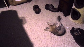 Kitten Loves Putting Stuff In Shoe