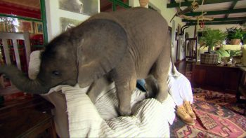 Adopted Baby Elephant Adorably Wreaks Havoc At Home