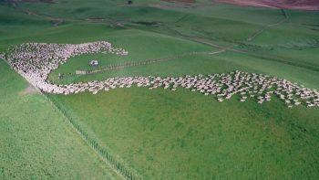 Bird's Eye View Of Sheep Herding Is Mesmerizing