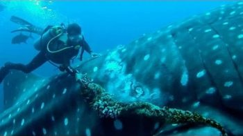 Diver Cuts Stuck Rope Off Of Whale Shark