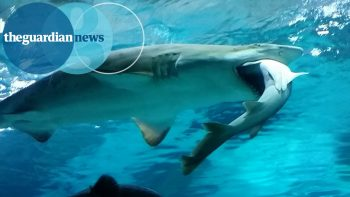 Shark Eats Others Shark At South Korean Aquarium