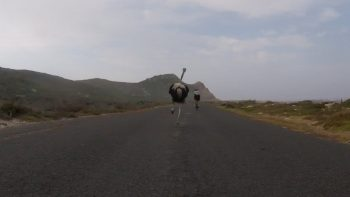 Ostrich Chasing Cyclists Is The Closing Thing To A Real Life Jurassic Park Scene