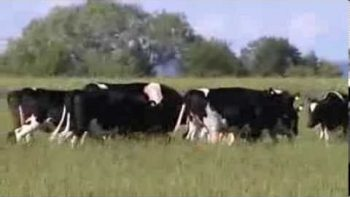 Cows Play With Giant Ball