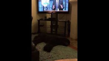 Dog Runs To Bed When TV Is Turned Off