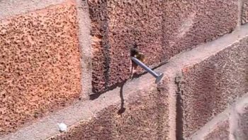 Super Bee Pulls Nail Out Of Brick Wall