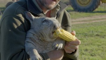 Farting Wombat Loves Eating Corn