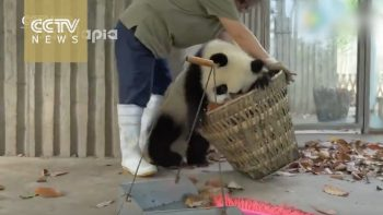 Pandas Mess With Staff As They Attempt To Clean