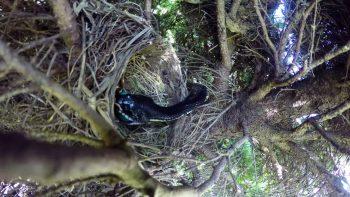 Snake Steals Eggs From Bird's Nest