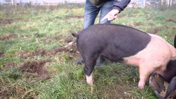 How To Straighten A Pig's Curly Tail