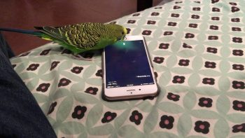 Parrot Activates Siri On iPhone