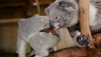 Butterfly Photobombs Koala Photoshooting