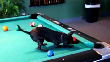 Chihuahua Plays Billiards