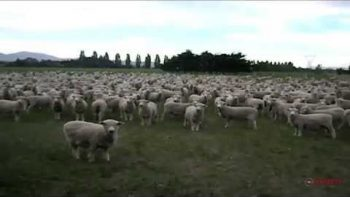 Sheep Herd Answers Man's Calls