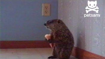 Woodchuck Eating An Ice Cream Cone