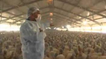 Farm Of Turkeys Respond To Man In Unison