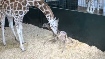 Baby Giraffe Calf Stands For First Time