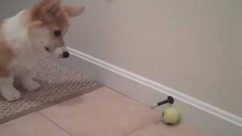 Corgi VS Door Stopper