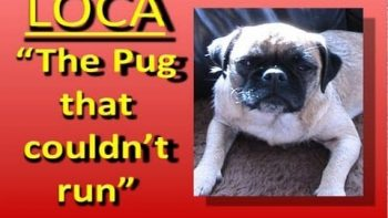 Loca The Irish Singing Pug