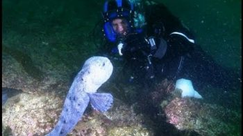 Diver Meets The Incredible Wolf Eel