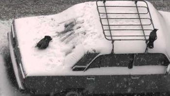 Crows Play On Snow Covered Cars