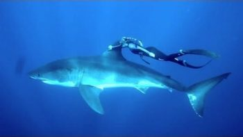 Woman Swims With Great White Shark
