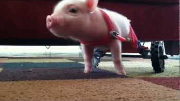 Disabled Piglet Walks Using Special Wheelchair