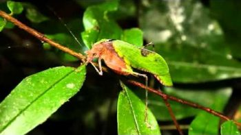 True Facts About The Leaf Katydid