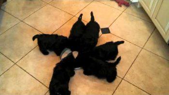 Scottish Terrier Puppy Pinwheel