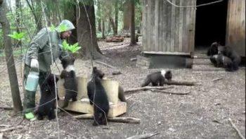 Bear Cubs Porridge Feeding
