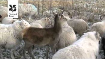 Deer Thinks It's A Sheep