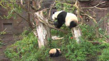 Baby Panda Debuts At San Diego Zoo
