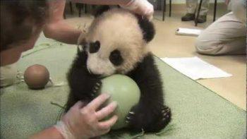 Panda Cub Plays With Ball