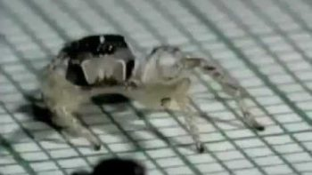 Cuban Spider Dances The Rumba