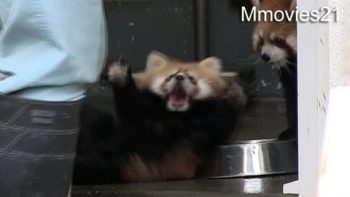 Red Panda Cub Scared By Keeper
