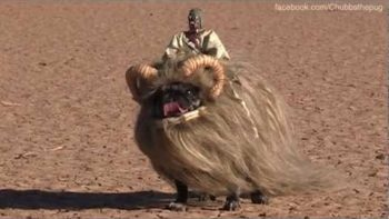 Banthapug – Pug Dressed Up As A Star Wars Bantha For Halloween