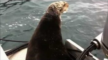 Sea Otter Jumps Into Small Boat To Escape Killer Whales