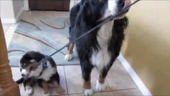 Bernese Mountain Dog Takes Puppy On Leash For Walk