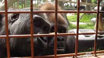 Curious Gorillas Inspect Caterpillar