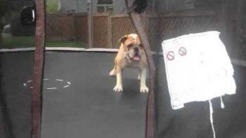 Mudd The Bulldog Plays On Trampoline