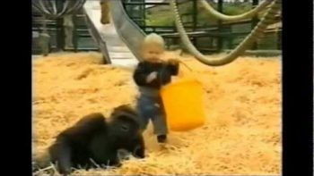 Little Girl Plays With Gorilla