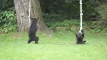 Playful Bear Cubs Play With Backyard Rope Swing