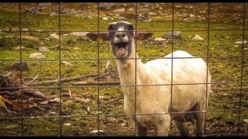 The Screaming Sheep