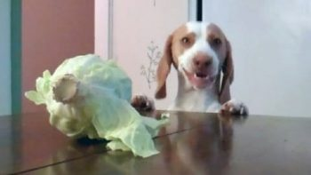 Dog Eats Cabbage On Table