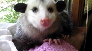 Pet Possum Eating A Strawberry