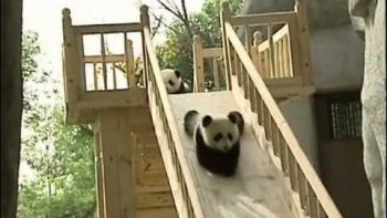 Panda Cubs Play On Slide