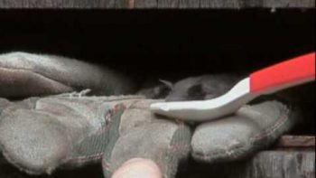 Baby Bat Gets The Hiccups