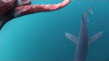 Shark Attacks Giant Squid