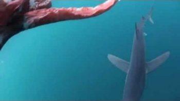 Shark Attacks Giant Squid